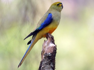 - Blue-winged Parrot