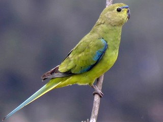 - Elegant Parrot