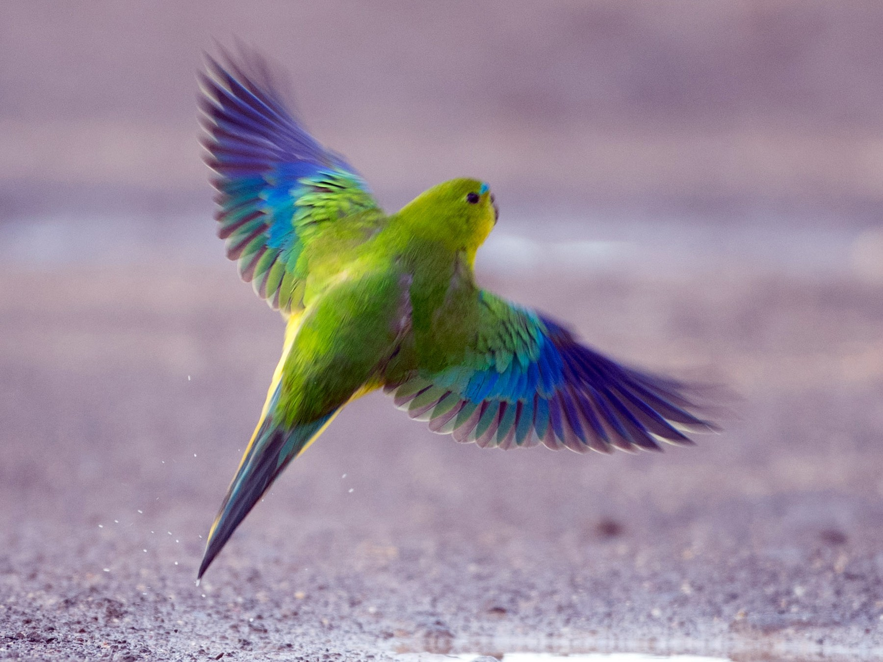 Orange-bellied Parrot - Ian Davies