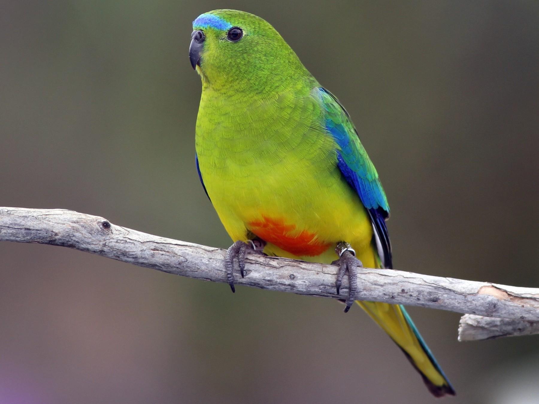 Orange-bellied Parrot - Chris Wiley