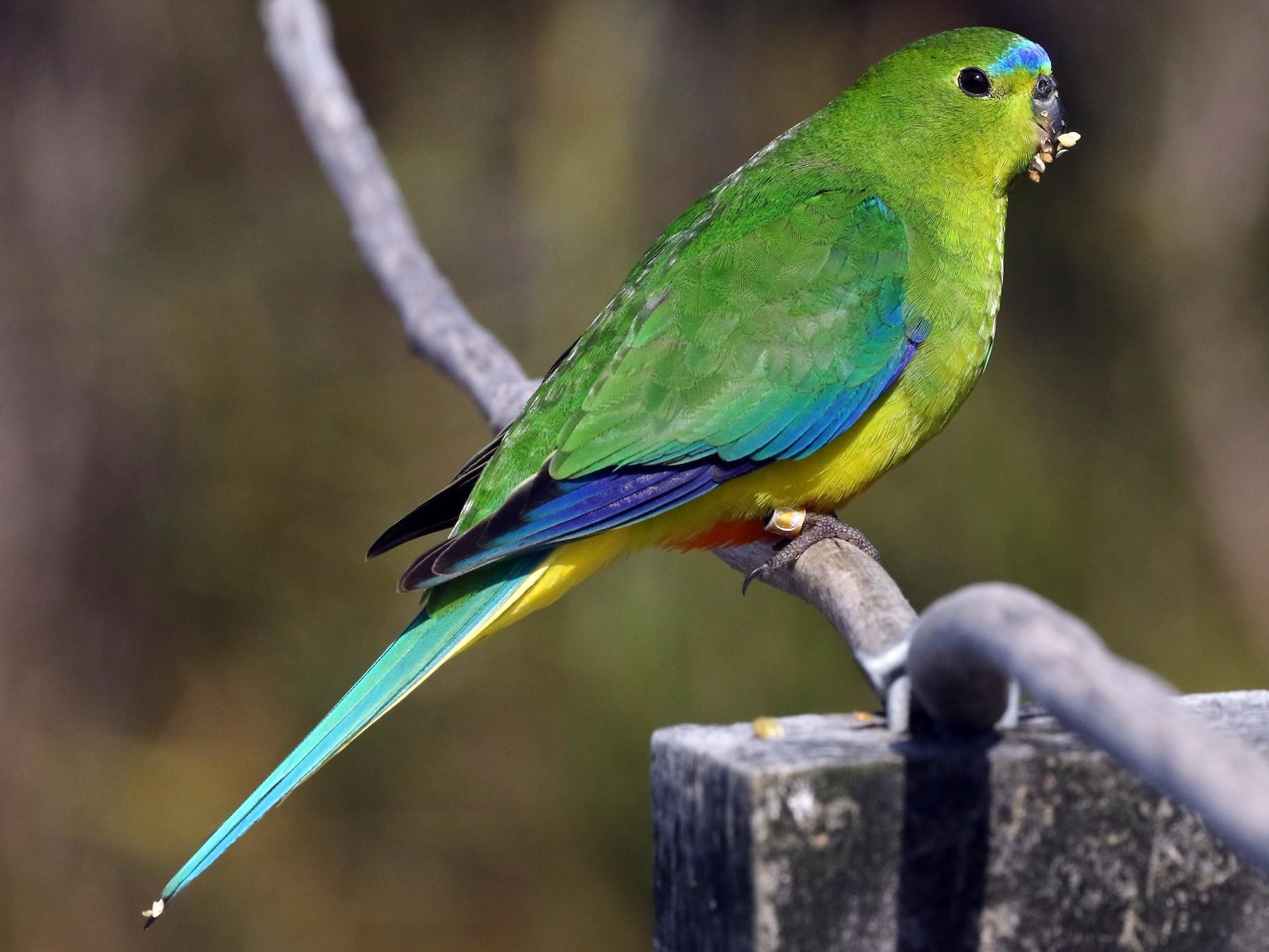 Orange-bellied Parrot - James Bailey