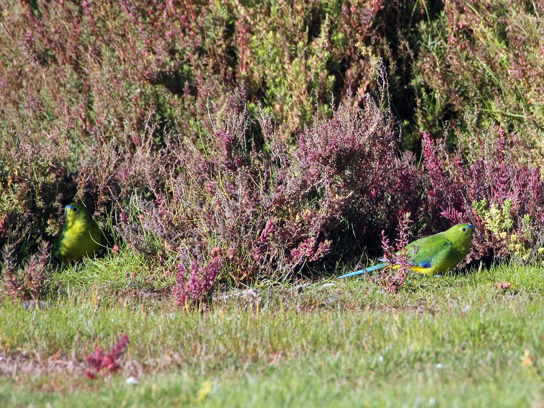 Orange-bellied Parrot - Matt McCrae