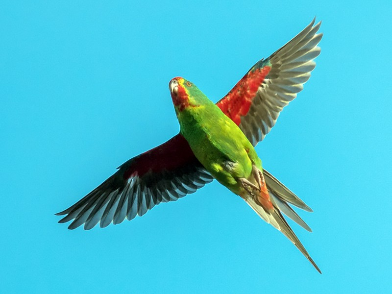Swift Parrot - David Adam