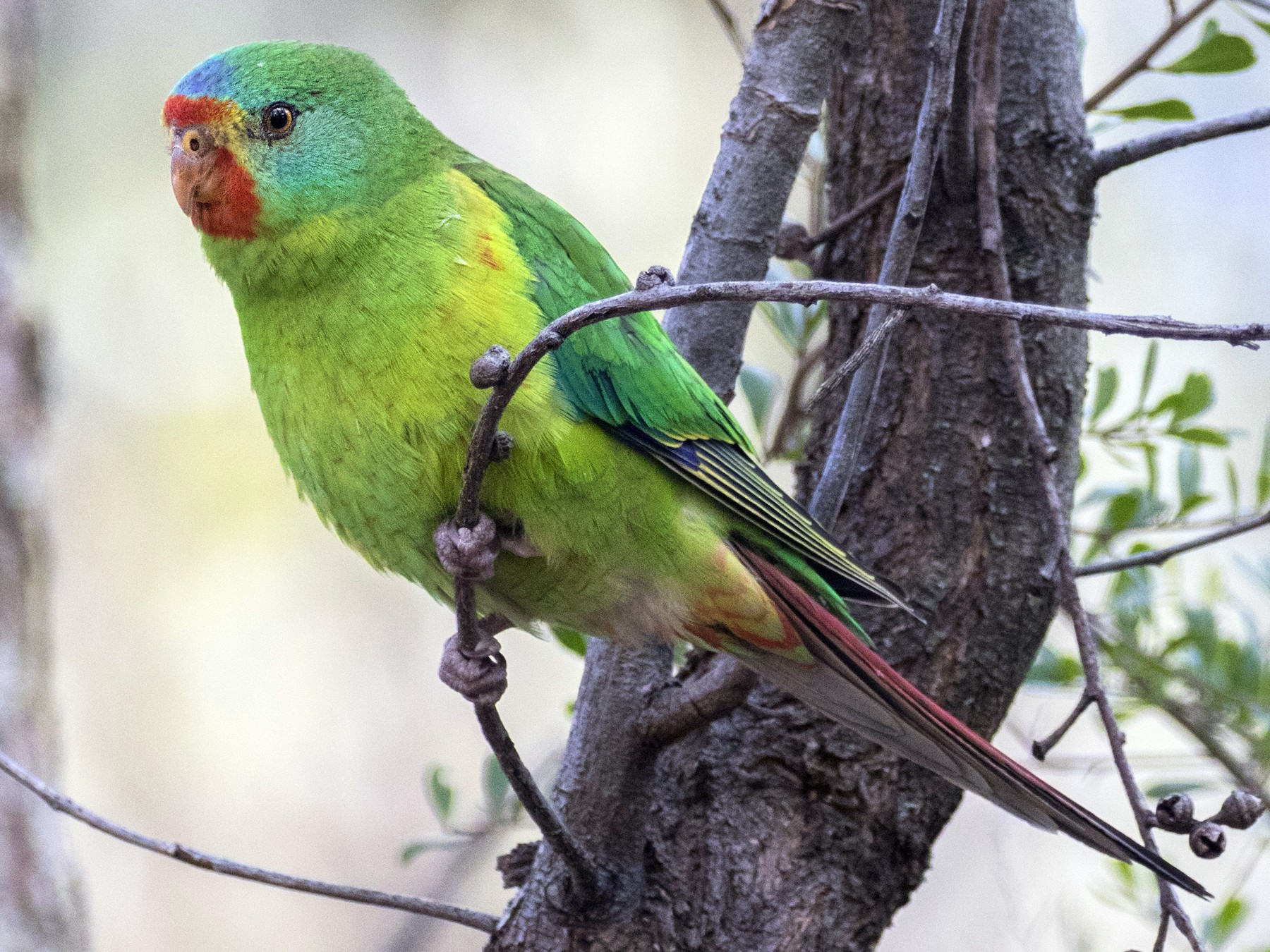 Swift Parrot - Timothy Paasila