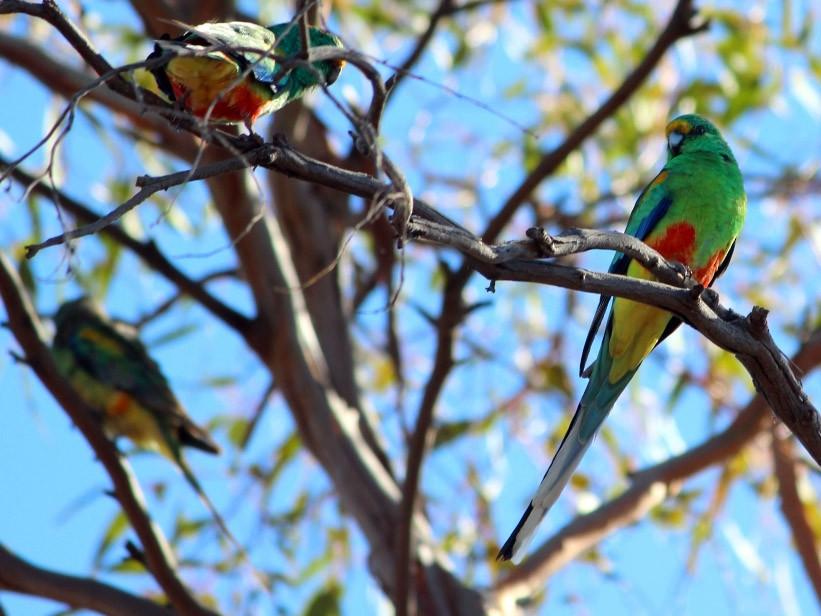 Mulga Parrot - Janine Duffy