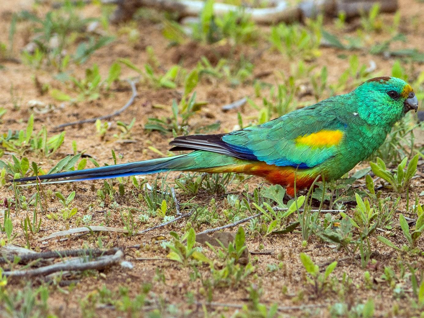 Mulga Parrot - John  Van Doorn