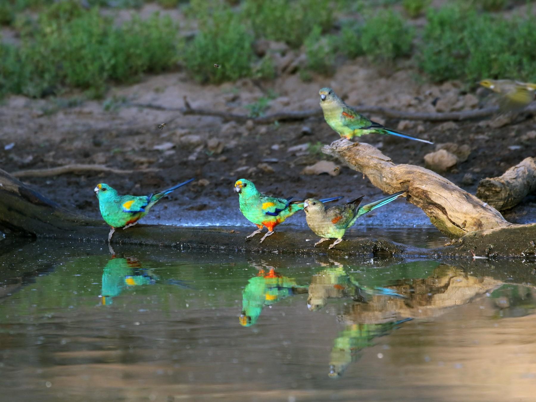 Mulga Parrot - David Ongley