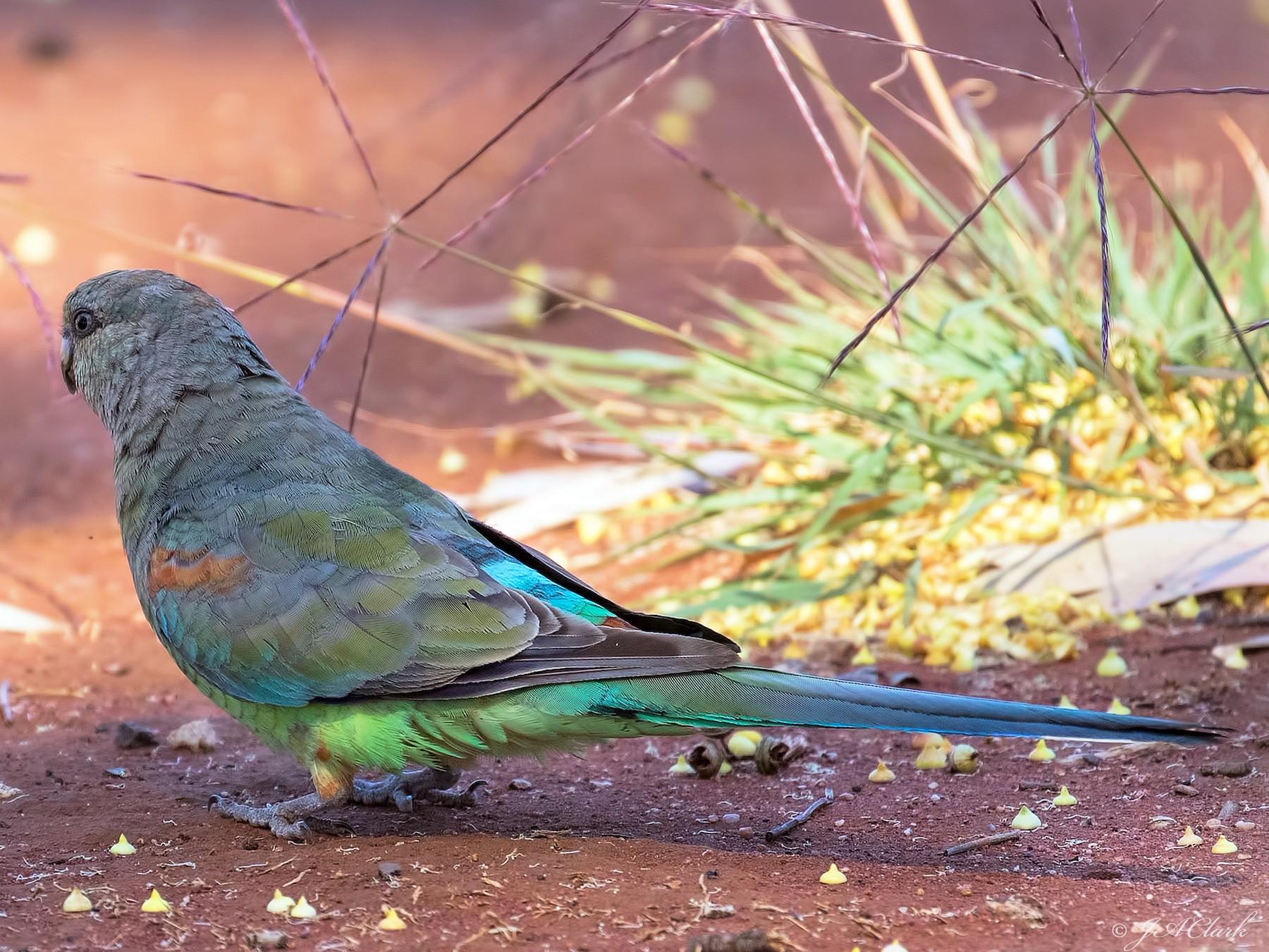 Mulga Parrot - Julie Clark