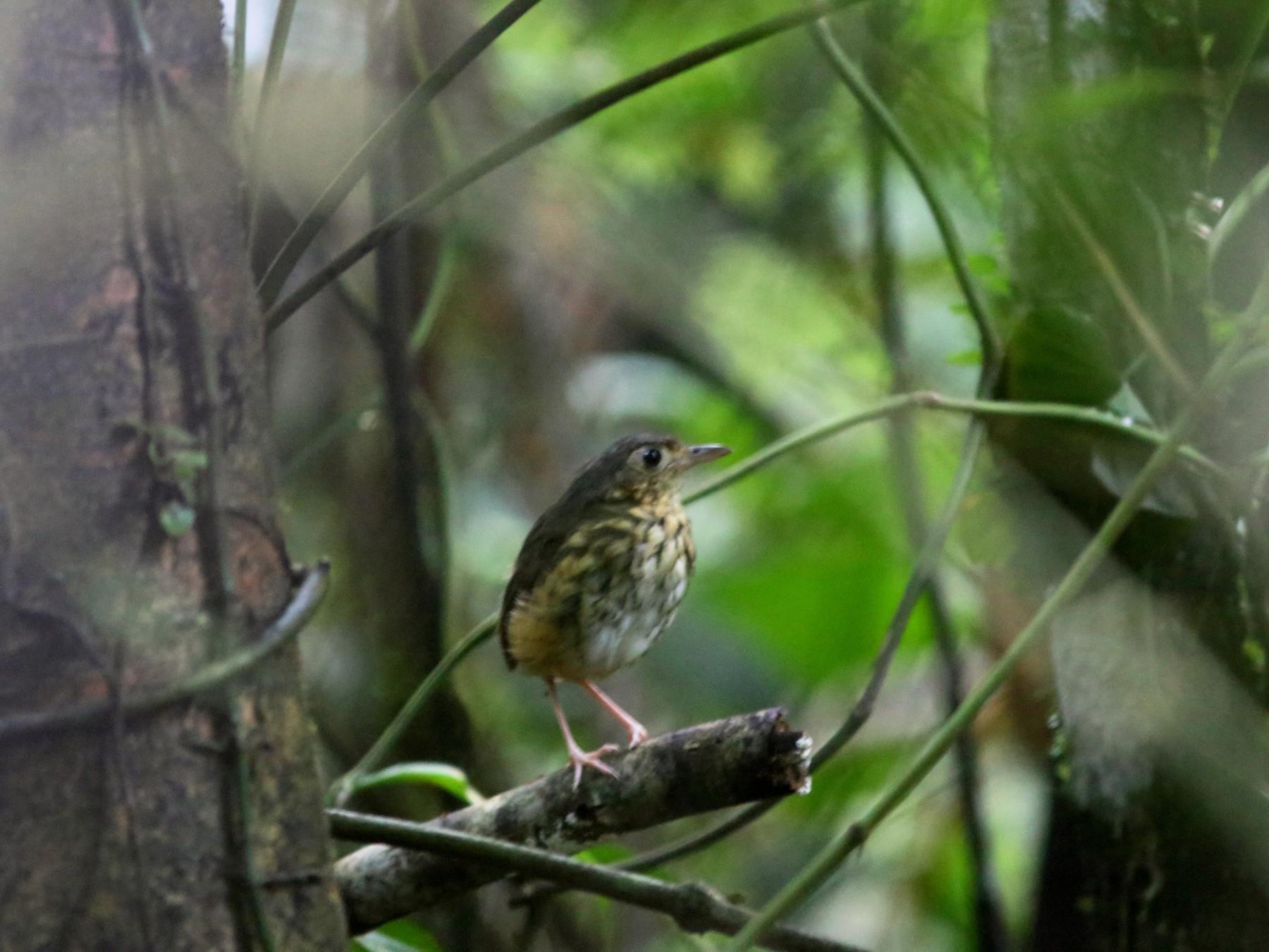 Amazonian Antpitta - Rohan van Twest