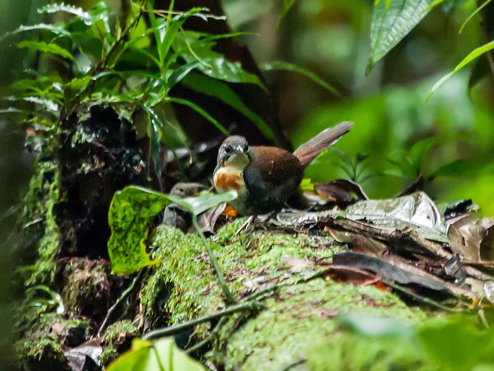 Rusty-belted Tapaculo - Nick Athanas