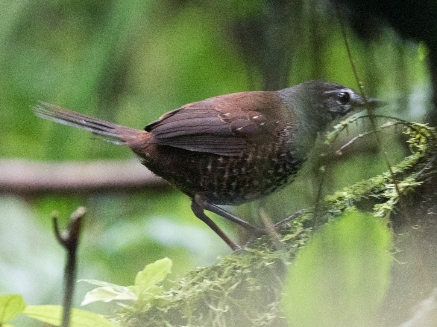 Rusty-belted Tapaculo - Rob Felix