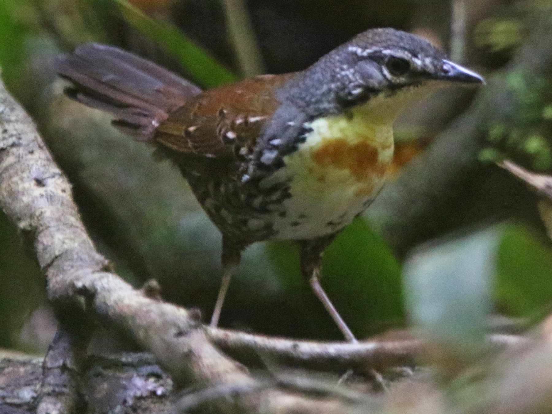 Rusty-belted Tapaculo - Thompson Ian