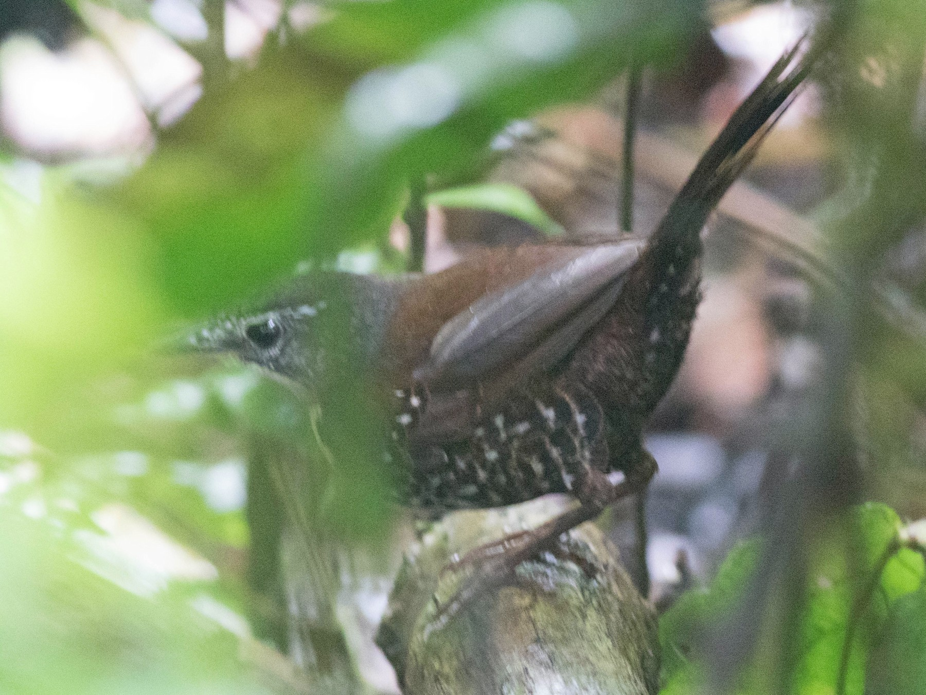 Rusty-belted Tapaculo - Jack Rogers