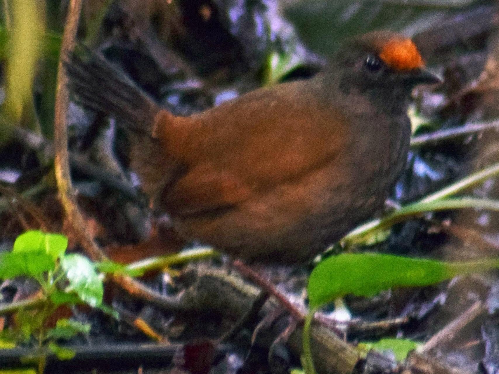 Rufous-fronted Antthrush - Noe Roger Huaraca Charca