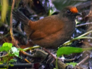 - Rufous-fronted Antthrush