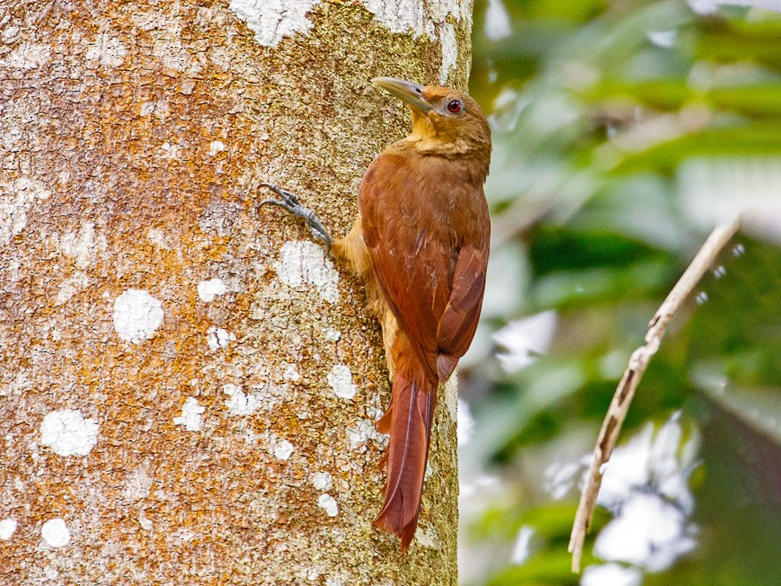 Cinnamon-throated Woodcreeper - Andy Walker - Birding Ecotours