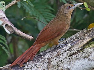 - Cinnamon-throated Woodcreeper