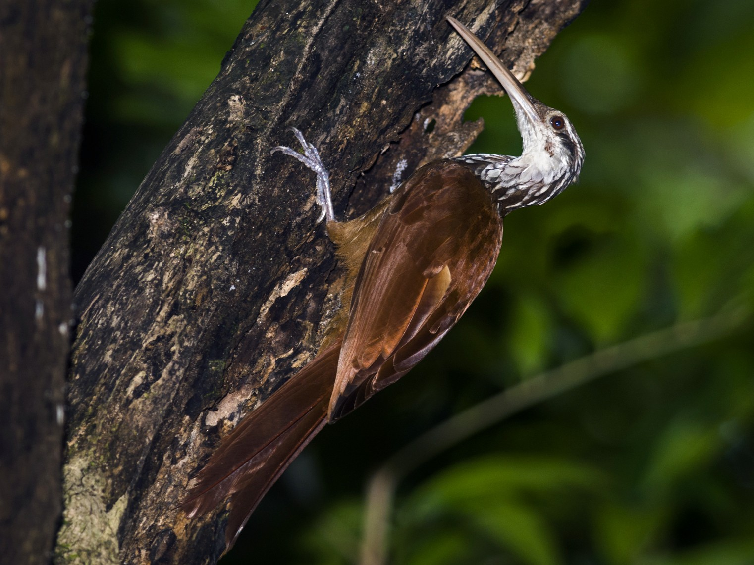 Long-billed Woodcreeper - Claudia Brasileiro