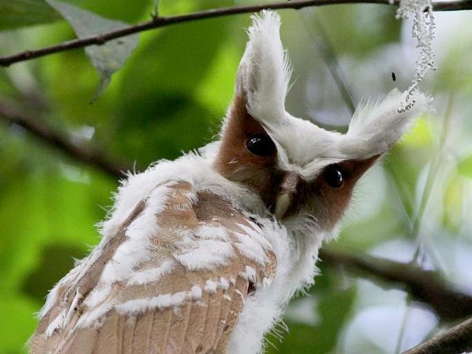 Crested Owl - eBird
