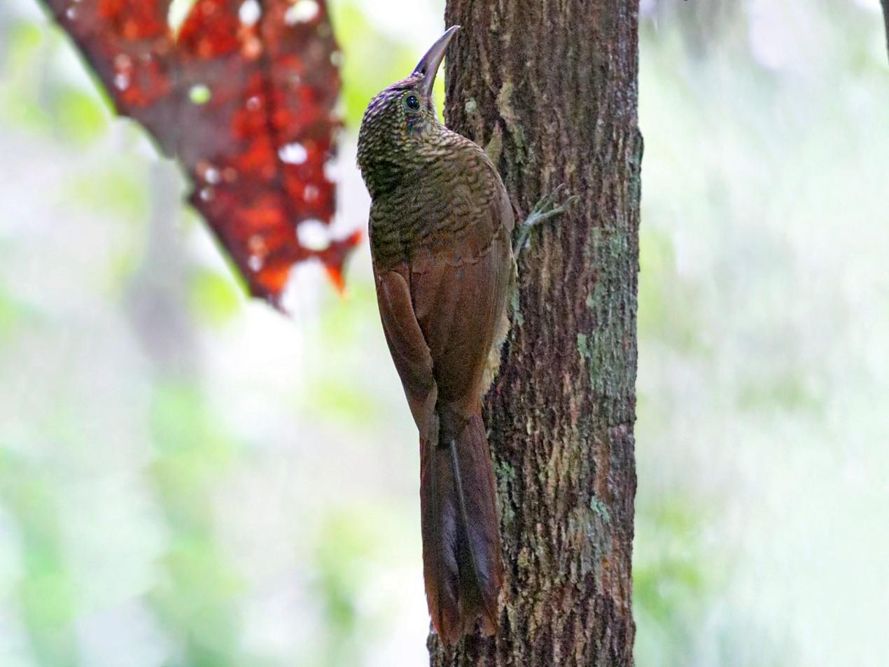 Amazonian Barred-Woodcreeper - Charley Hesse