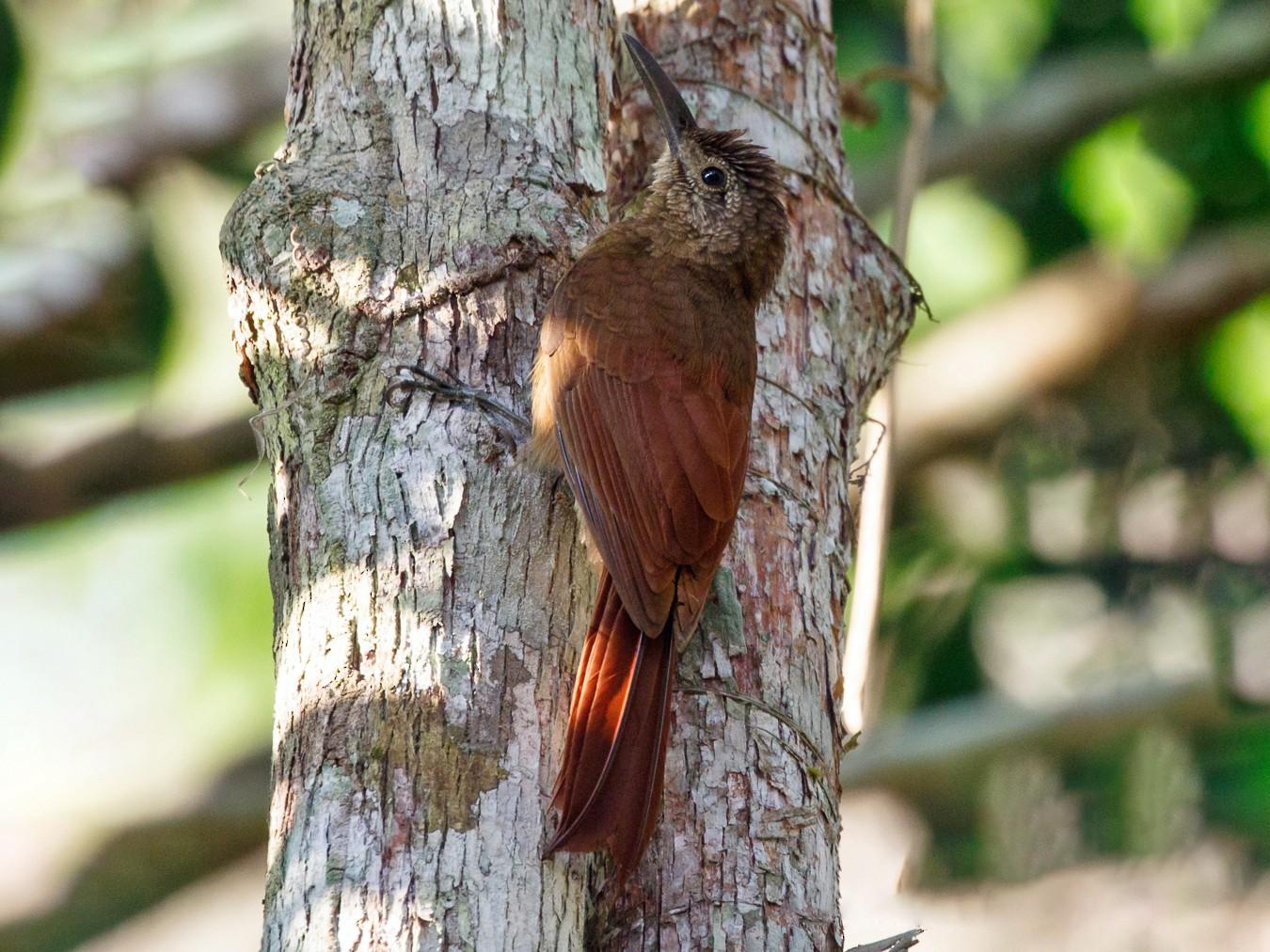 Amazonian Barred-Woodcreeper - Silvia Faustino Linhares
