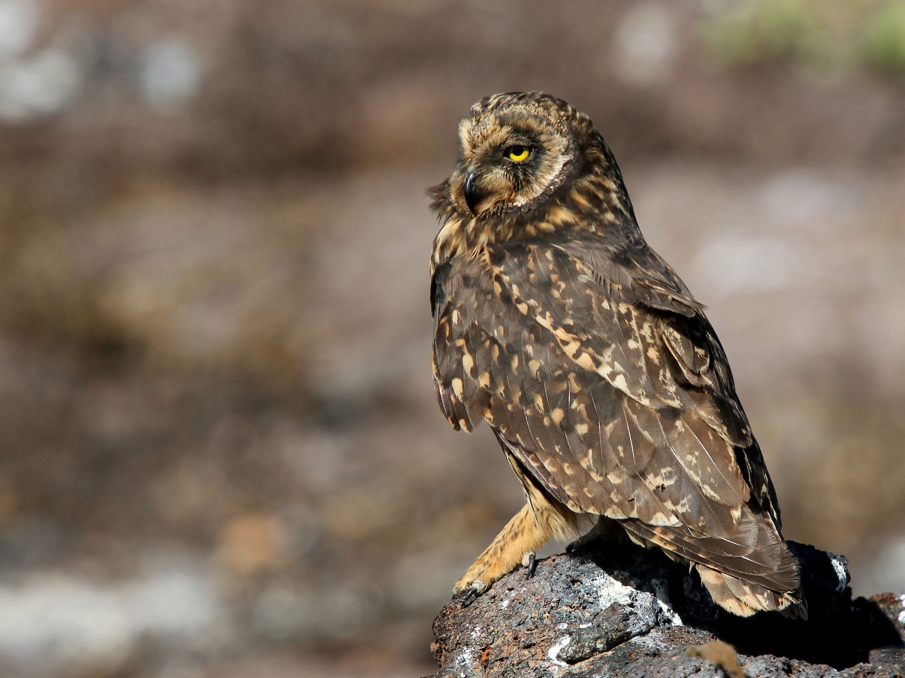 Short-eared Owl - Rhys Marsh