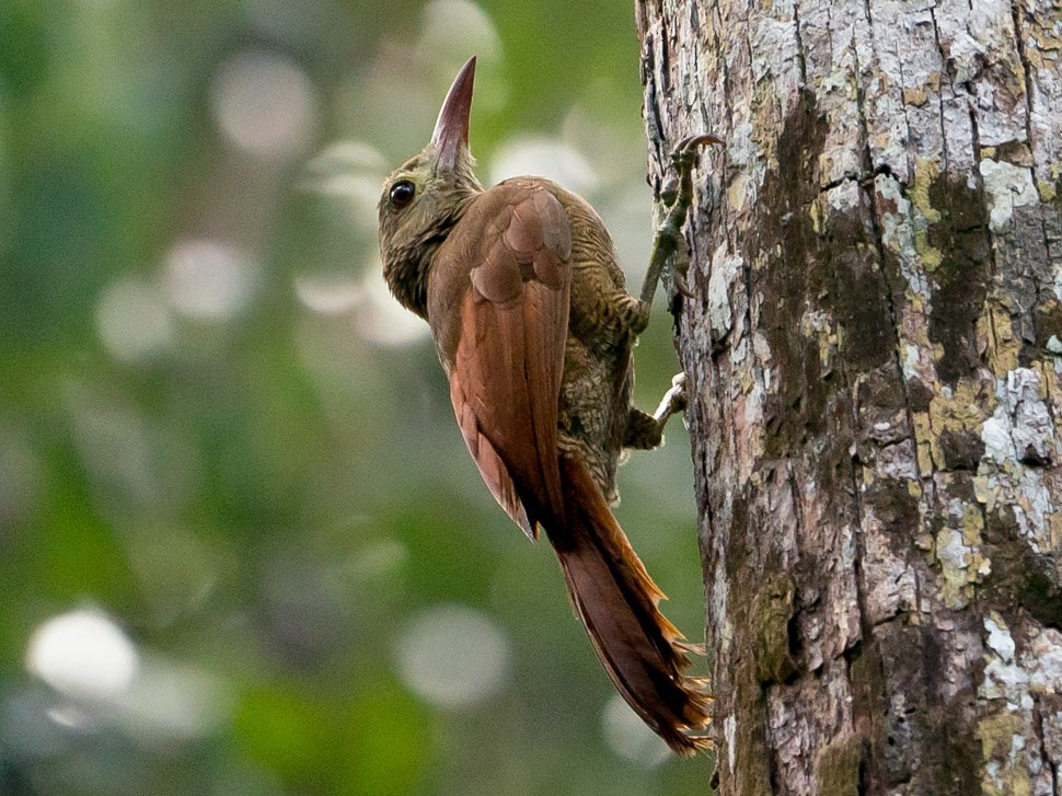 Bar-bellied Woodcreeper - Joao Quental JQuental