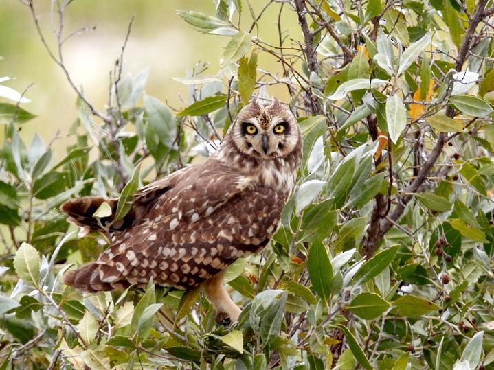 Short-eared Owl - Geoff Malosh