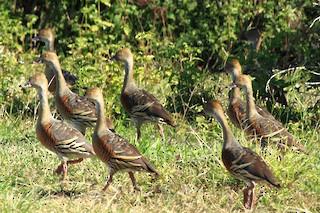 Plumed Whistling-Duck, ML173249801
