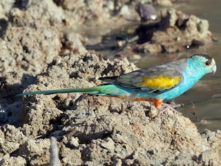 - Golden-shouldered Parrot