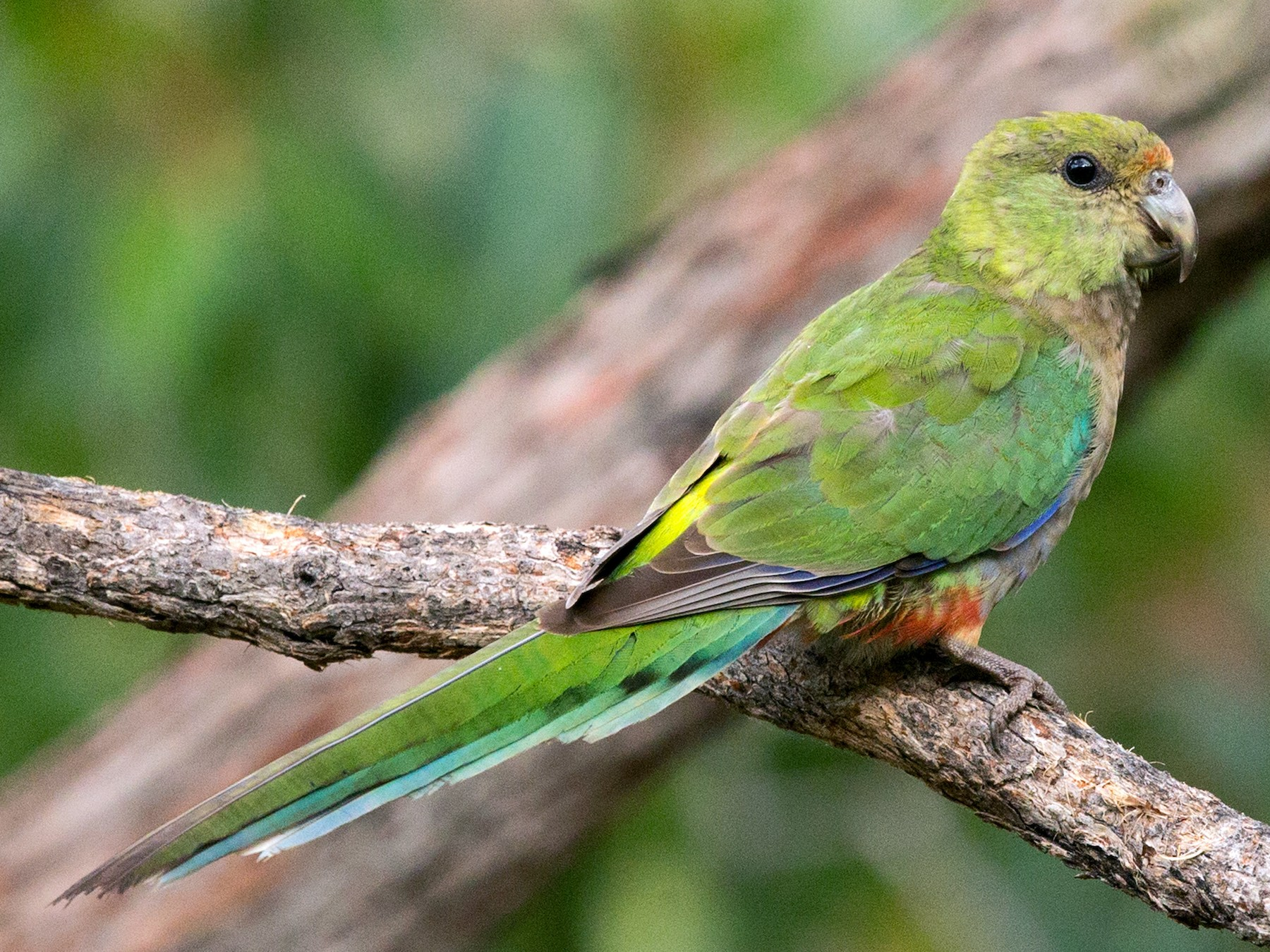 Red-capped Parrot - David Irving