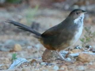 - Noisy Scrub-bird