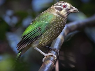 - Spotted Catbird