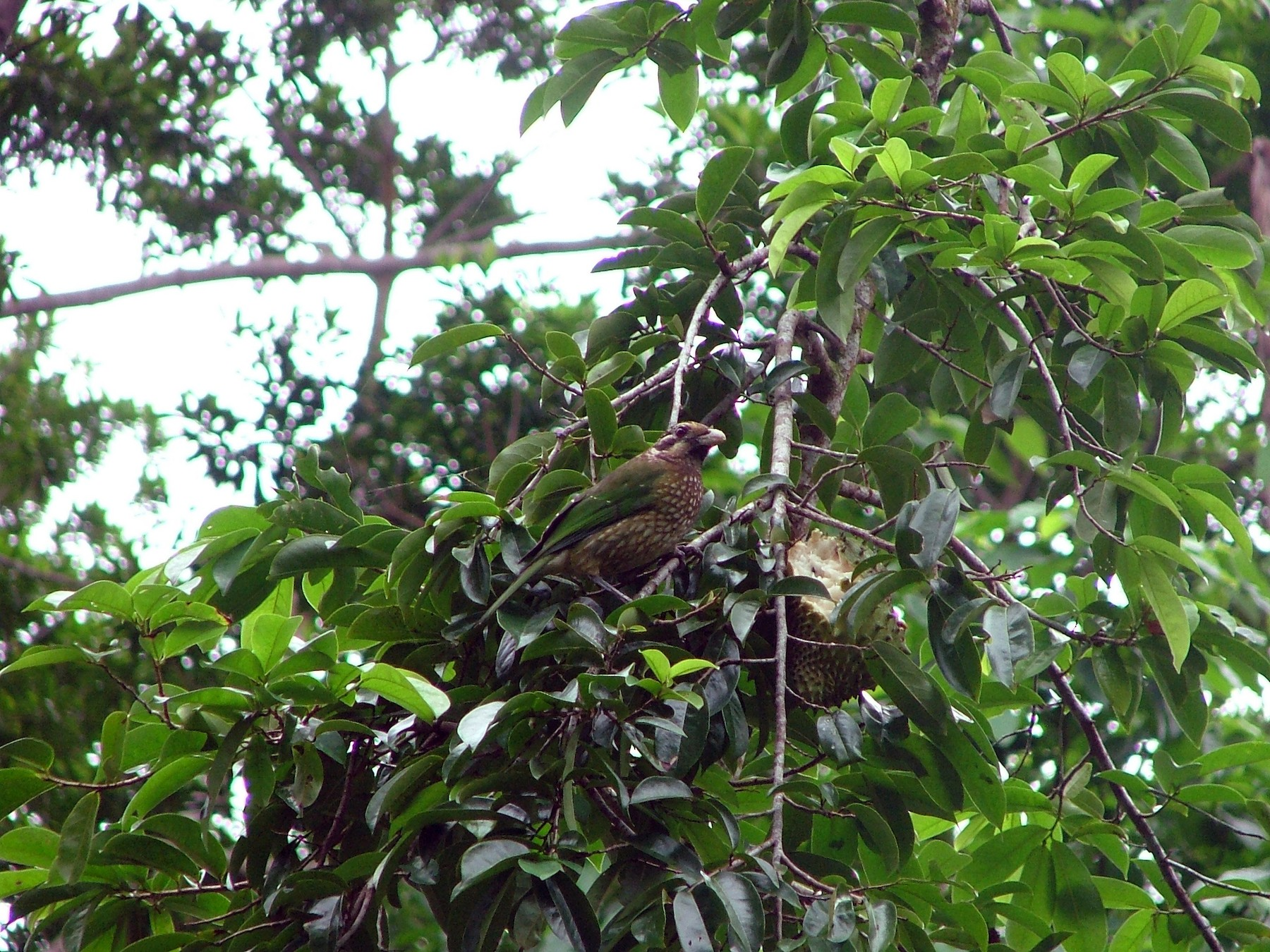 Spotted Catbird - Ronald de Mol