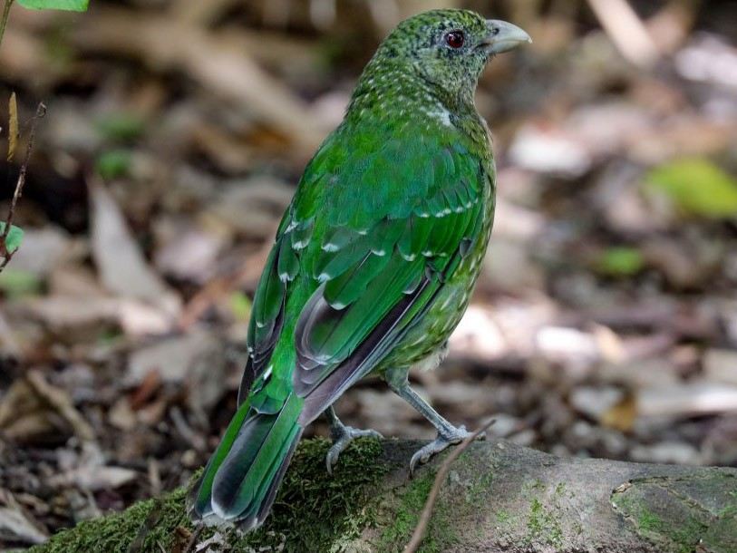 what is the diet of a green catbird