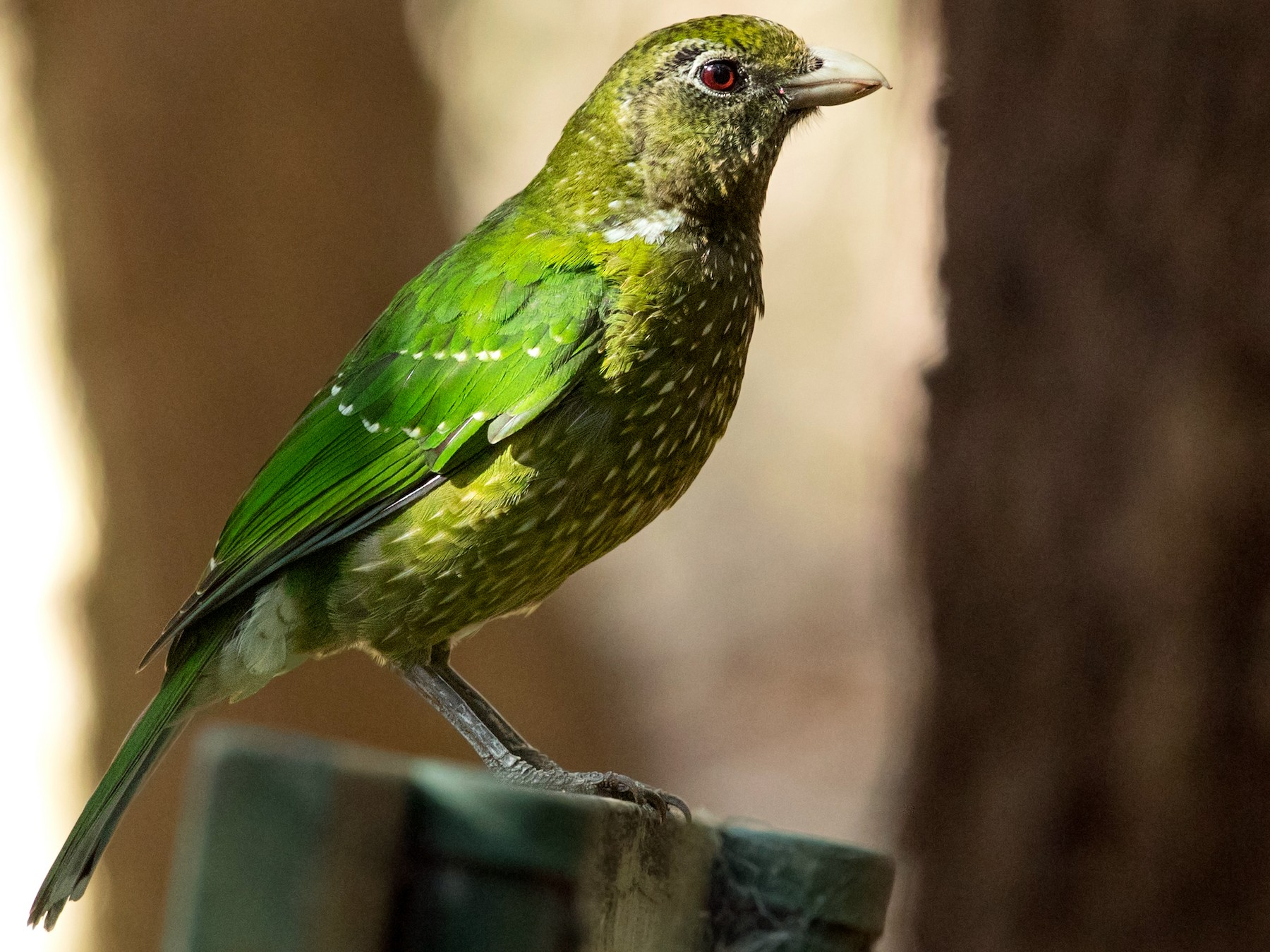 Green Catbird - David Irving