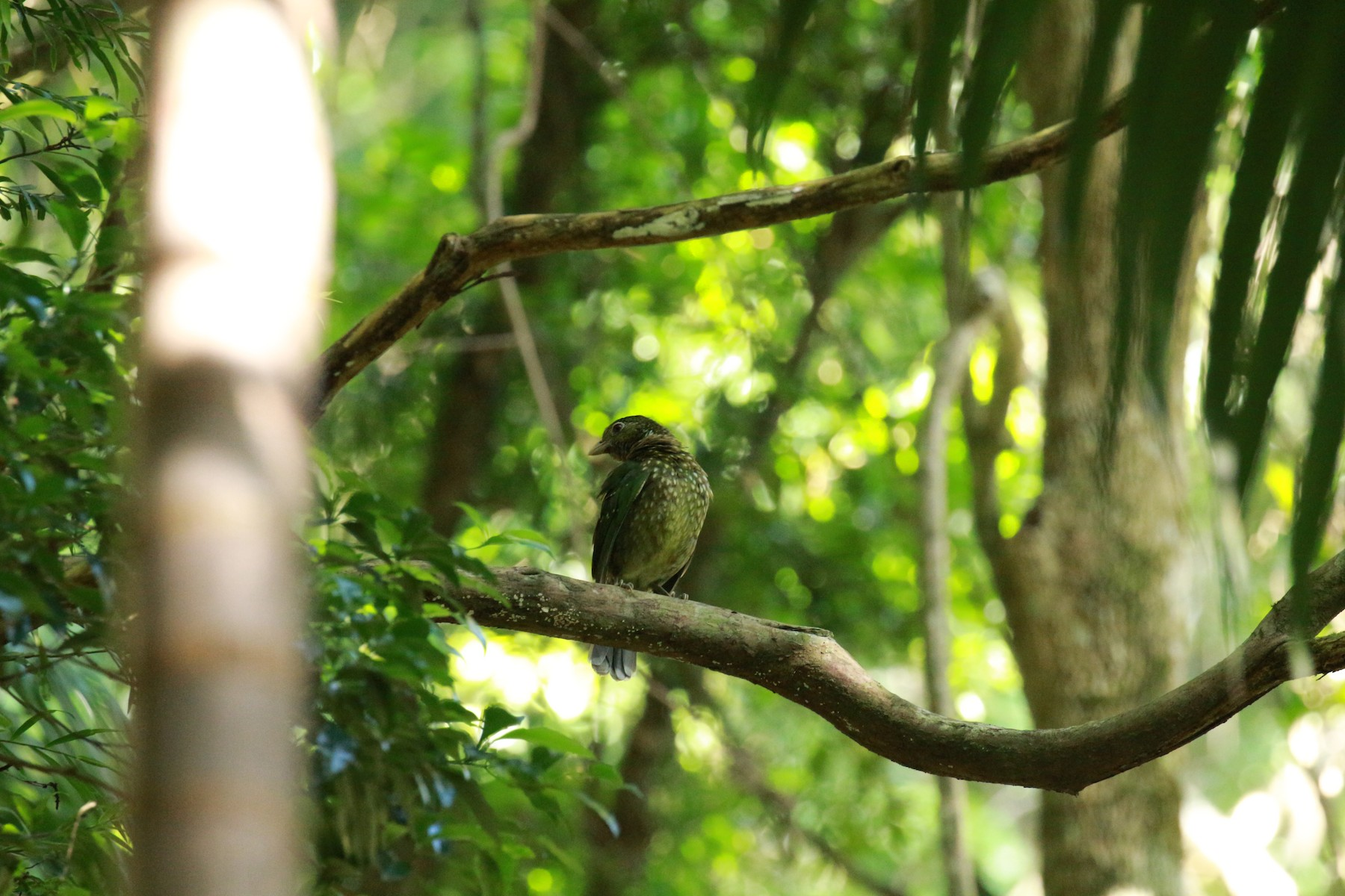 Green Catbird - Jon Pleizier