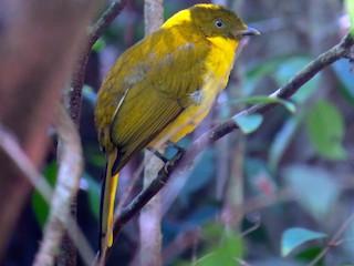 - Golden Bowerbird
