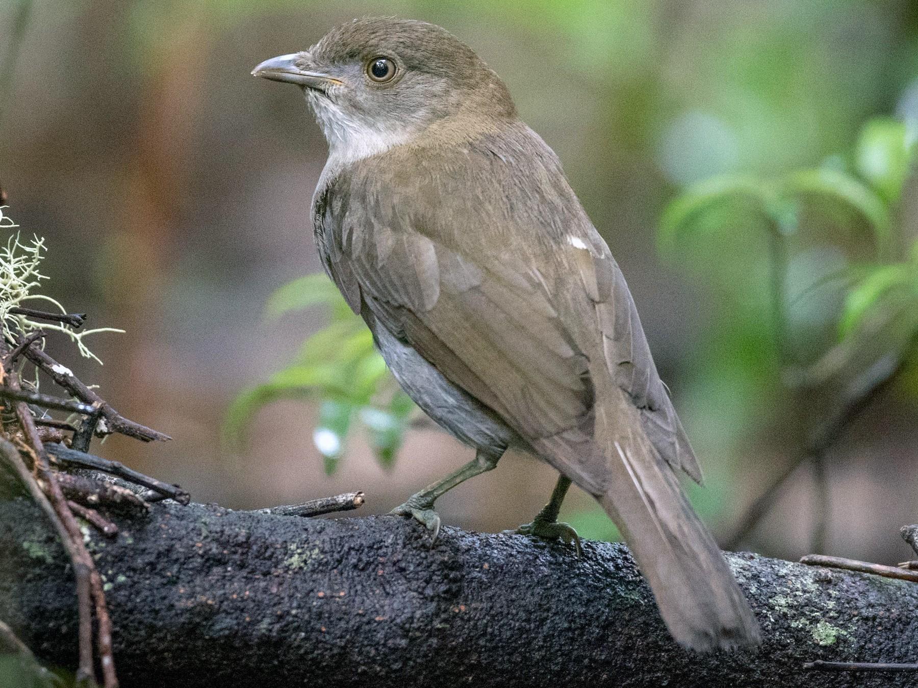 Golden Bowerbird - Ian Davies