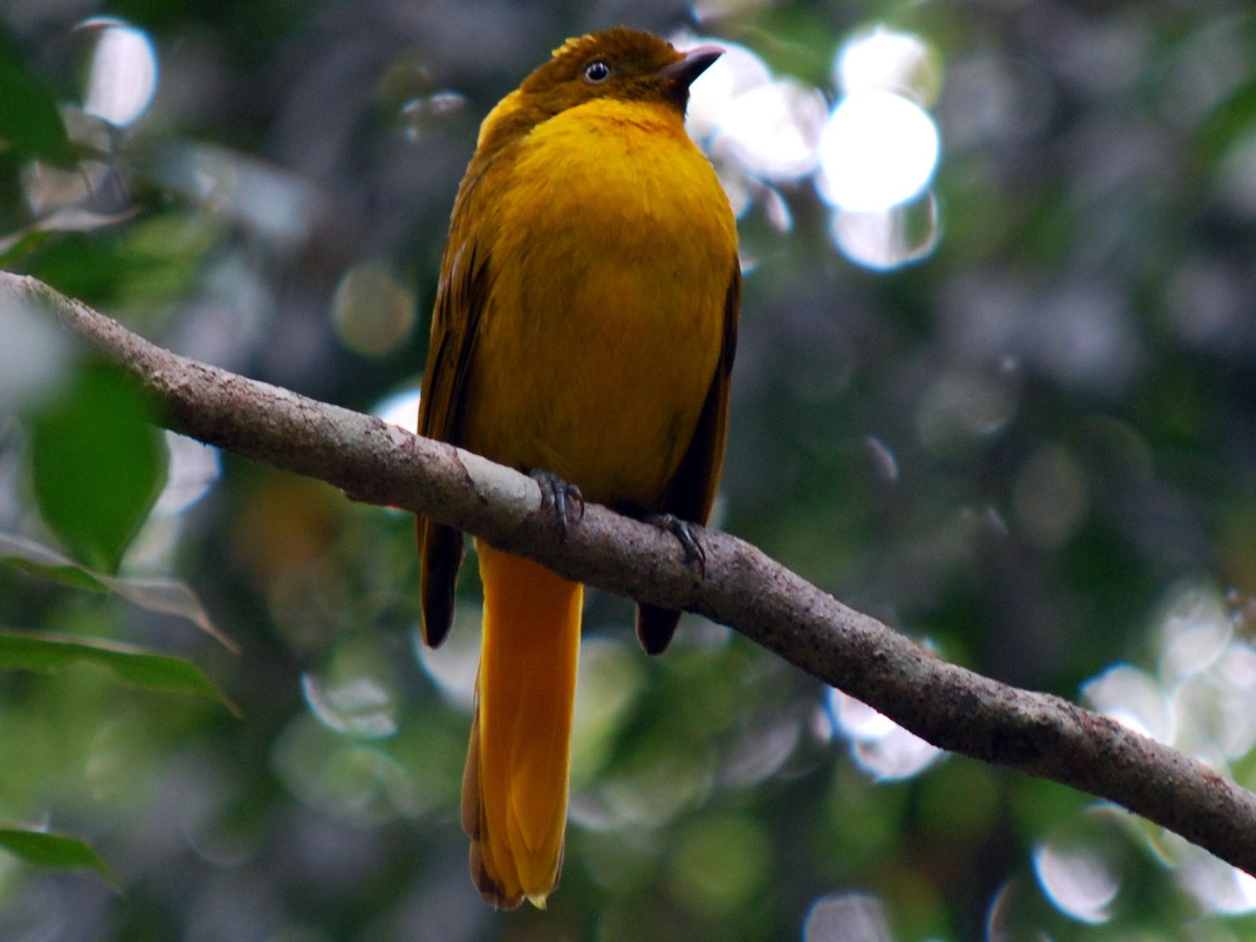 Golden Bowerbird - John Lowry