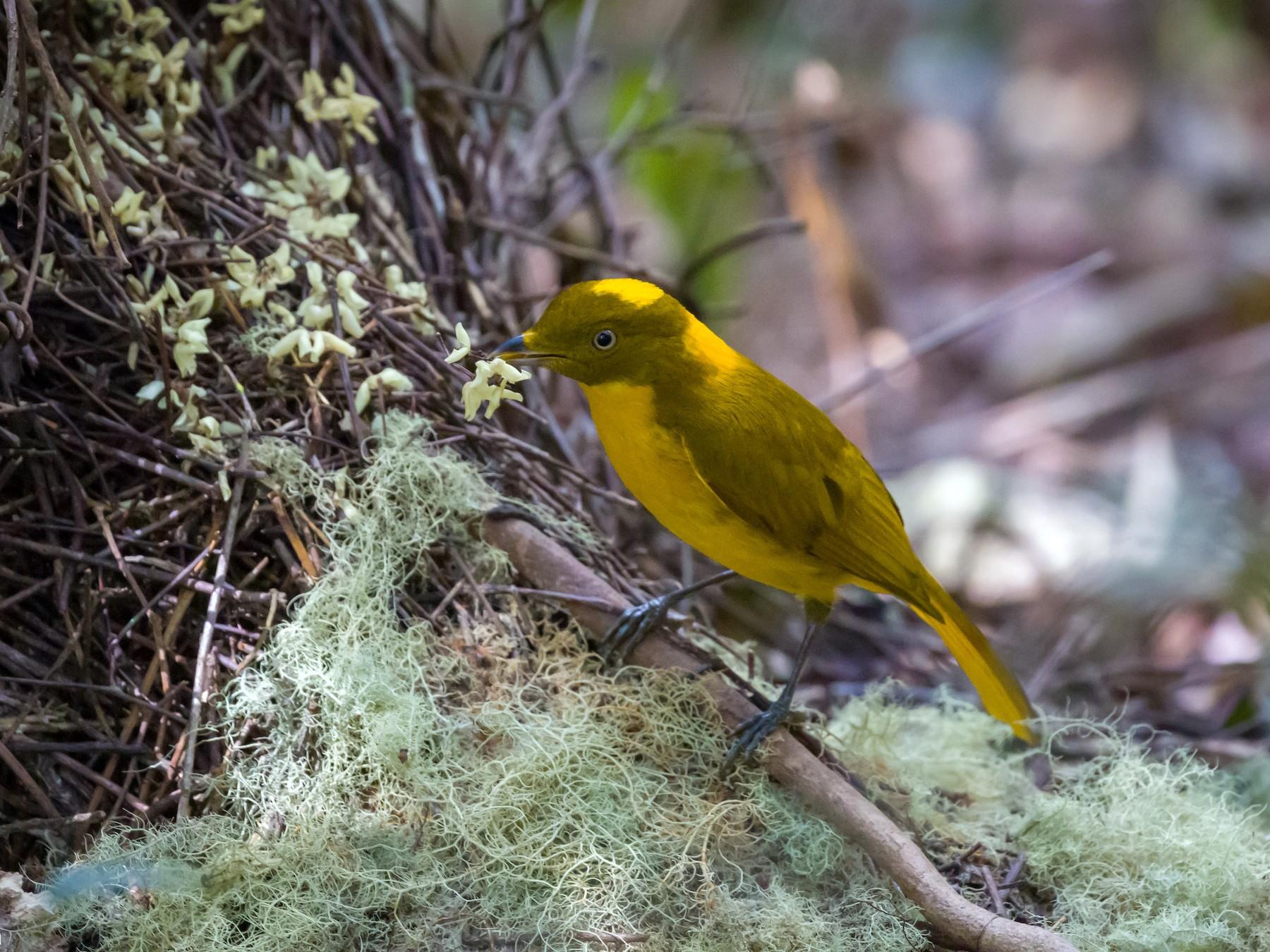 Golden Bowerbird - Christopher Sloan