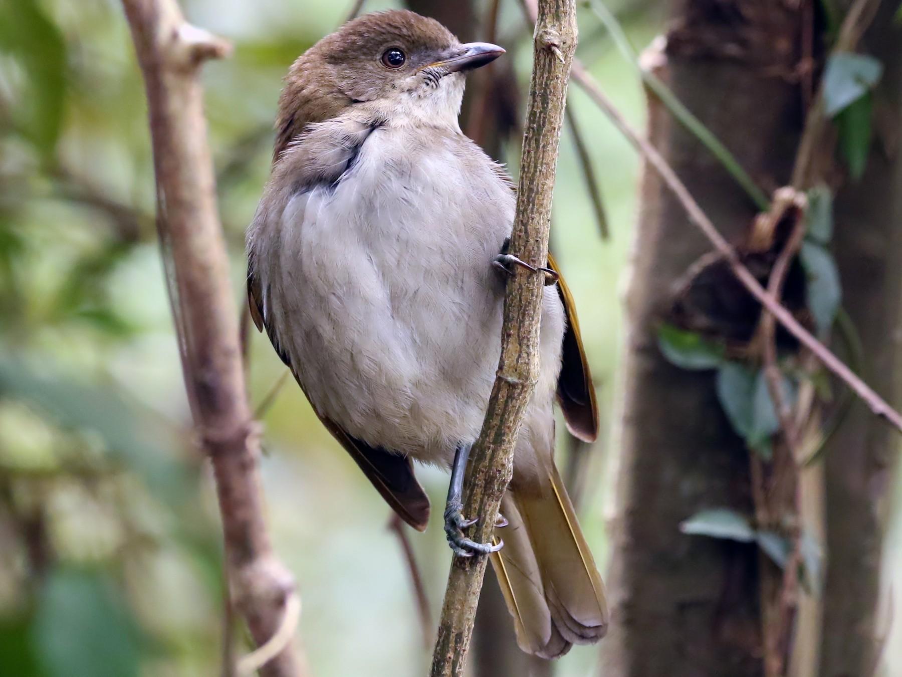 Golden Bowerbird - David Ongley