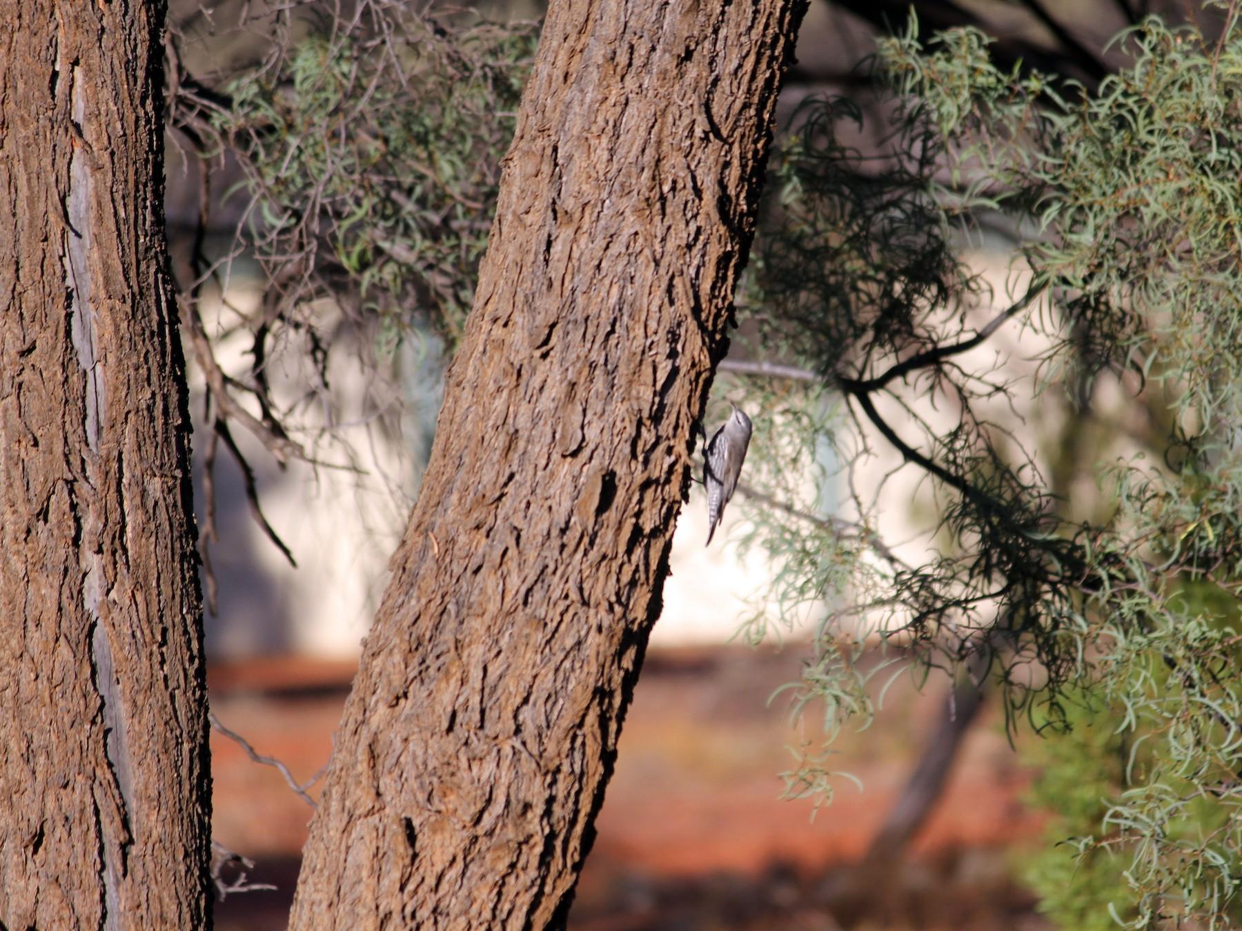 White-browed Treecreeper - Philip  Peel