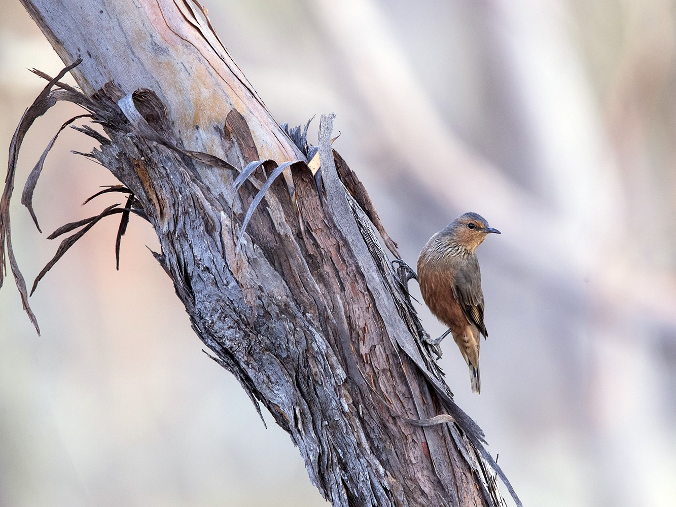 Rufous Treecreeper - Laurie Ross | Tracks Birding & Photography Tours