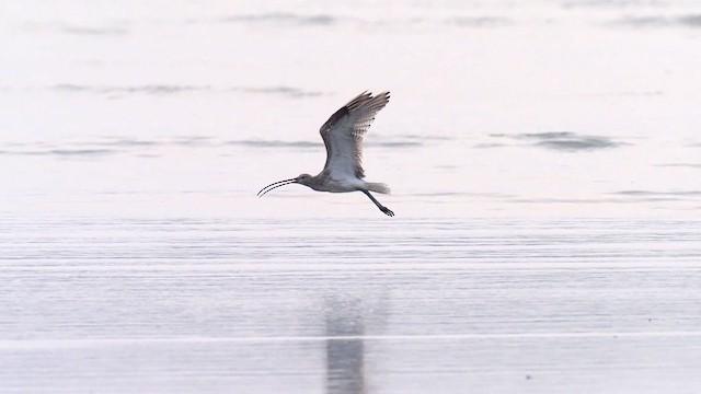 Eurasian Curlew