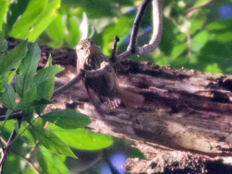 Rufous-tailed Xenops - Alex Wiebe