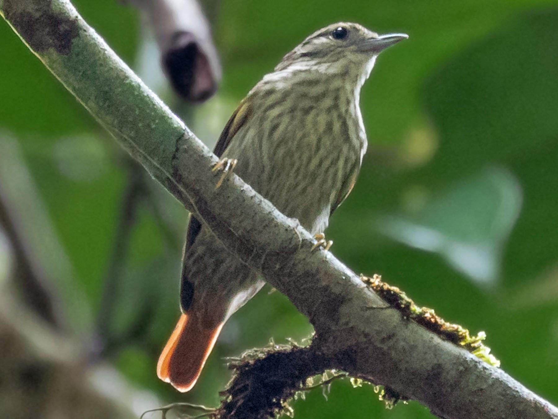 Rufous-tailed Xenops - Héctor Bottai