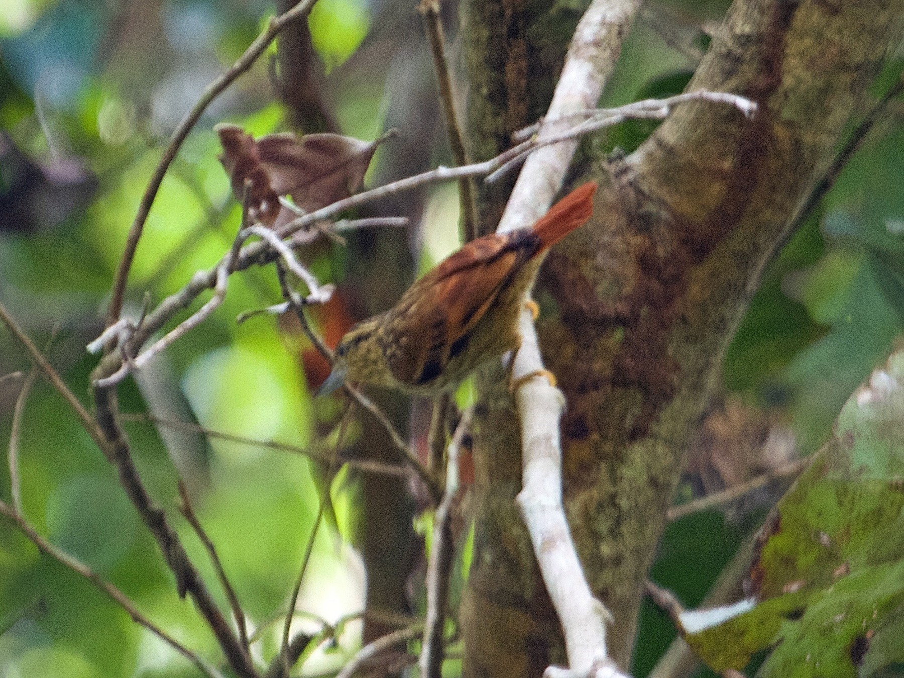 Rufous-tailed Xenops - Will Sweet