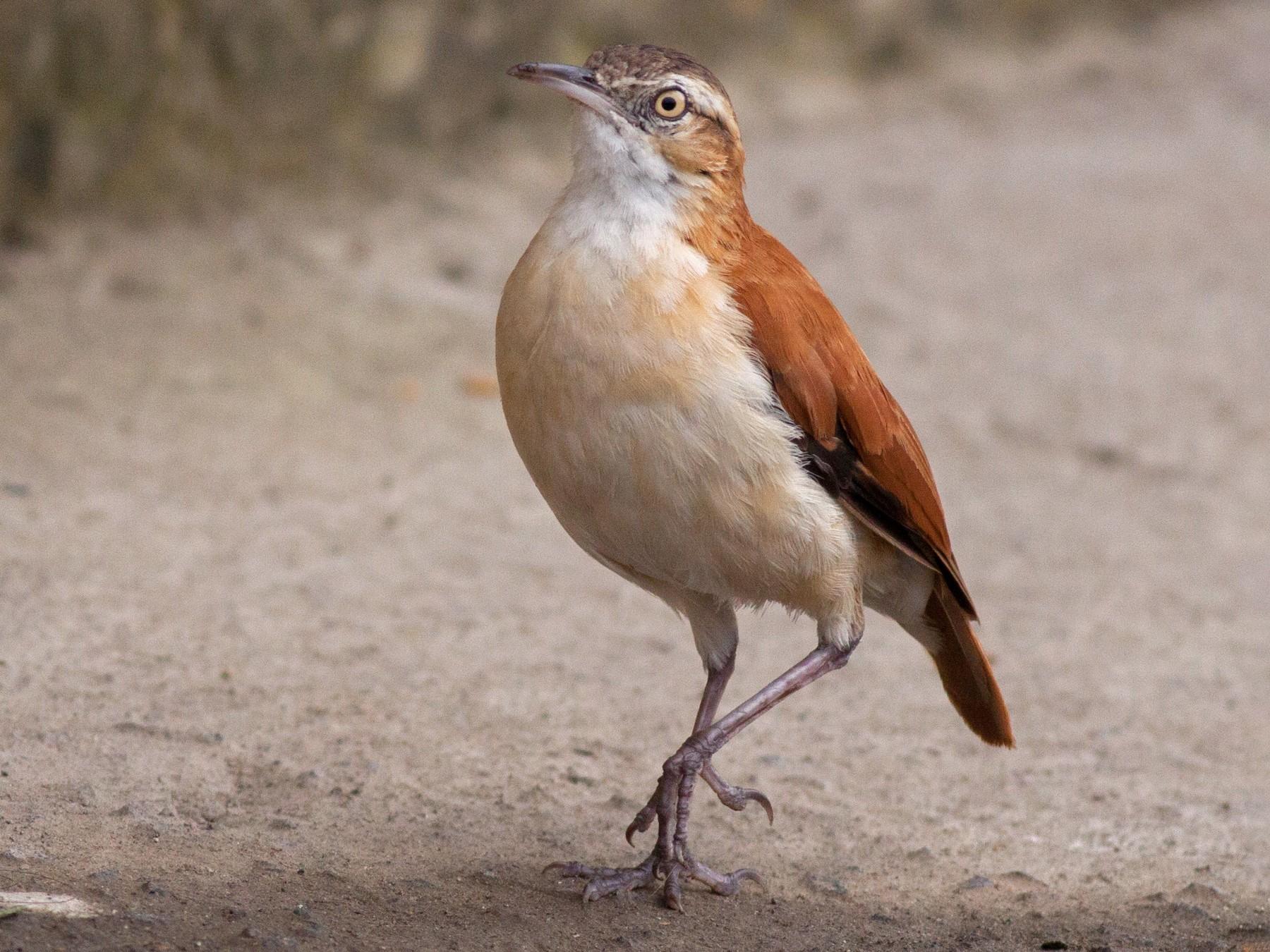 Pale-legged Hornero - Ian Davies