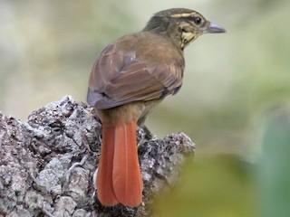 - Rufous-tailed Foliage-gleaner